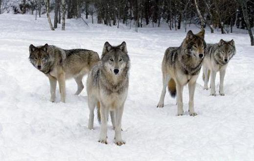 canadian wolf pack